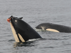 Orca eating a salmon